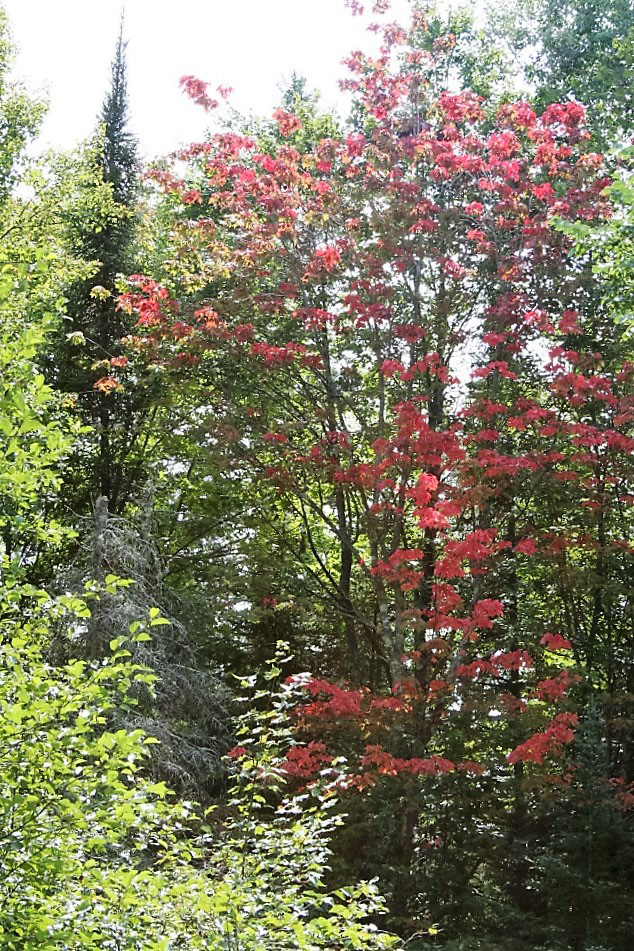 Early fall color is already showing up in Wisconsin's Northwoods.