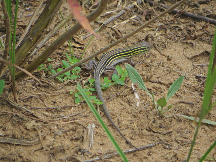 The new DNR Instagram account will feature photos like this six-lined racerunner scurrying around and enjoying life in Wisconsin this summer.