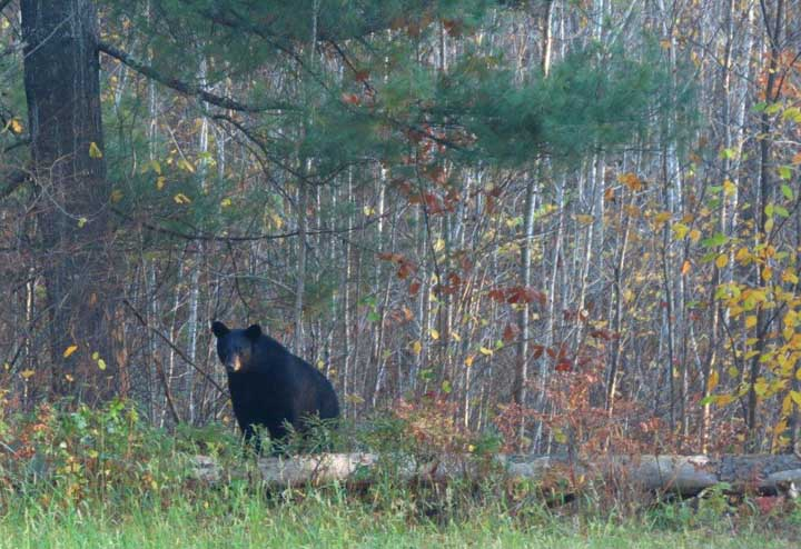 A record number of bear permits will be issued for the 2018 season. - Photo credit: Catherine Khalar